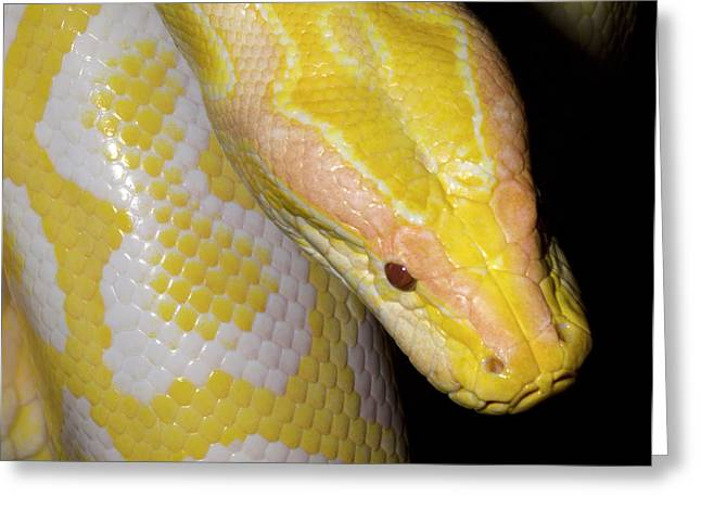 Albino Burmese Python Greeting Card by Nigel Downer