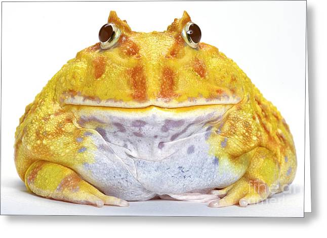 Albino Chacoan Horned Frog Greeting Card by Michel Gunther