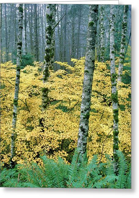 Alders And Vine Maples, Clatsop County Greeting Card