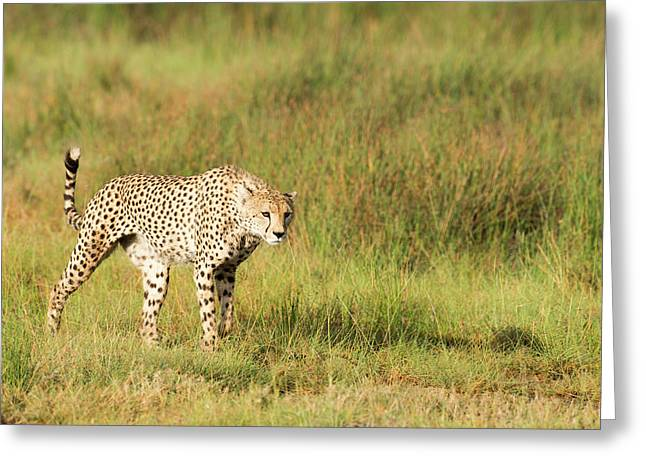 Alert Cheetah  Acinonyx Jubatus Greeting Card