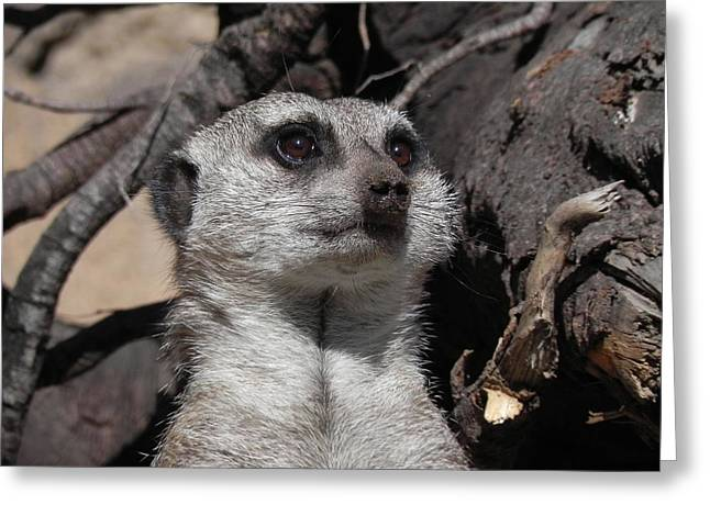 Alert Meerkat Greeting Card