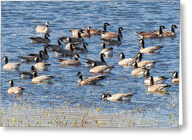 Aleutian Cackling Geese Greeting Card by Rich Leighton