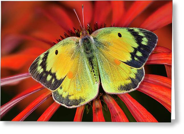 Alfalfa Butterfly On Cone Flower Greeting Card