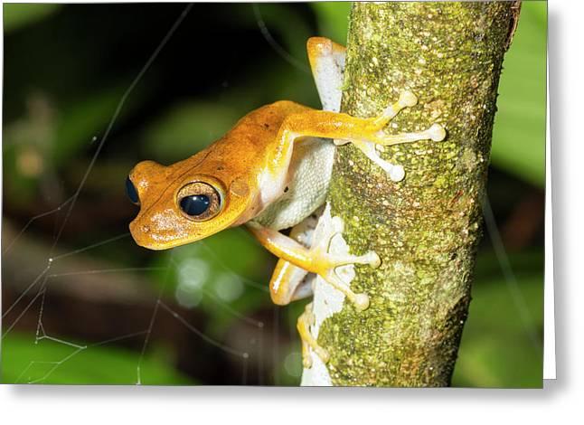 Alfaro's Treefrog Greeting Card