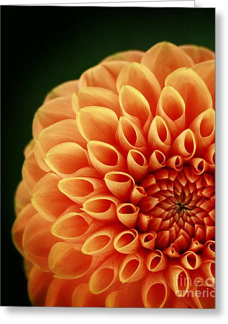 Alive With Color Delight Dahlia Greeting Card by Inspired Nature Photography Fine Art Photography