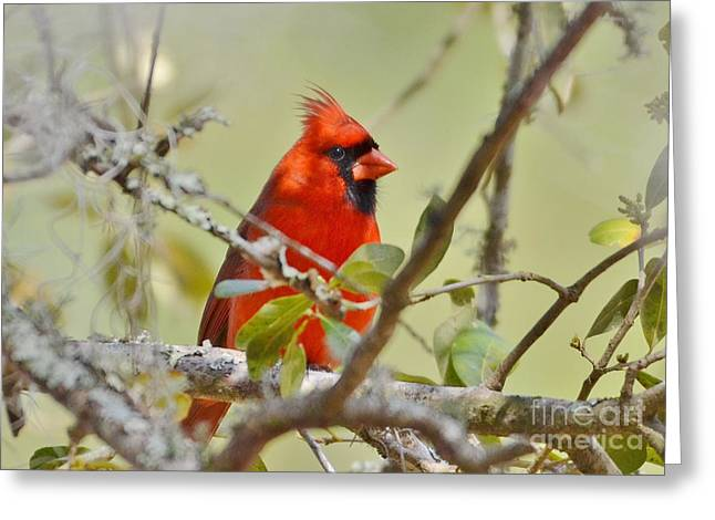 All Dressed In Red Greeting Card by Kathy Baccari