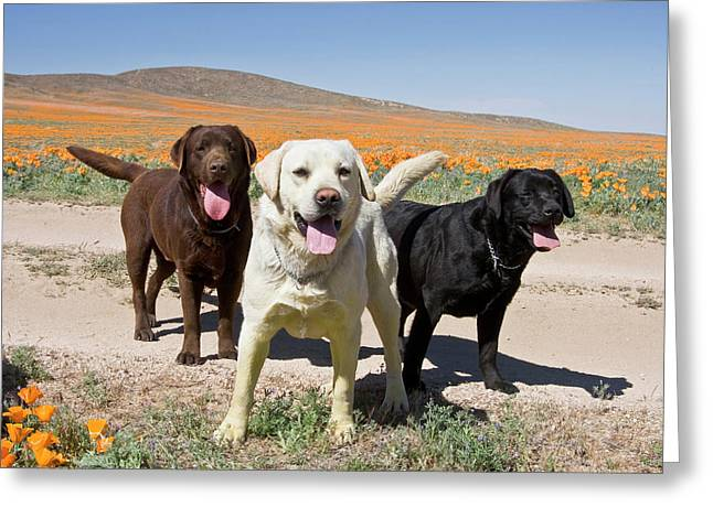 All Three Colors Of Labrador Retrievers Greeting Card by Zandria Muench Beraldo