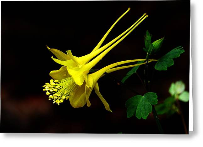 All Yellow Columbine Greeting Card