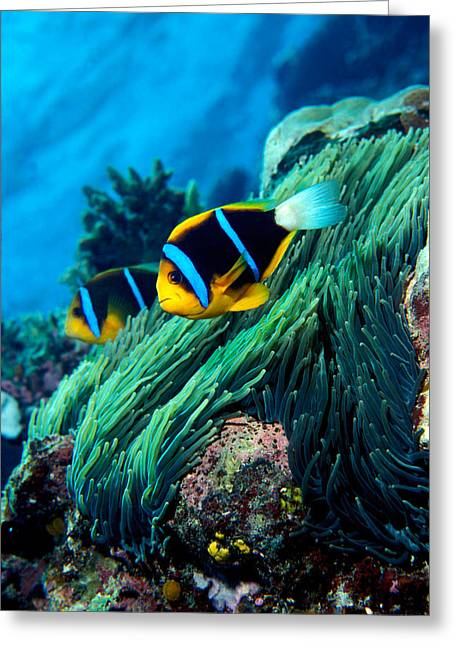 Allards Anemonefish Amphiprion Allardi Greeting Card by Panoramic Images