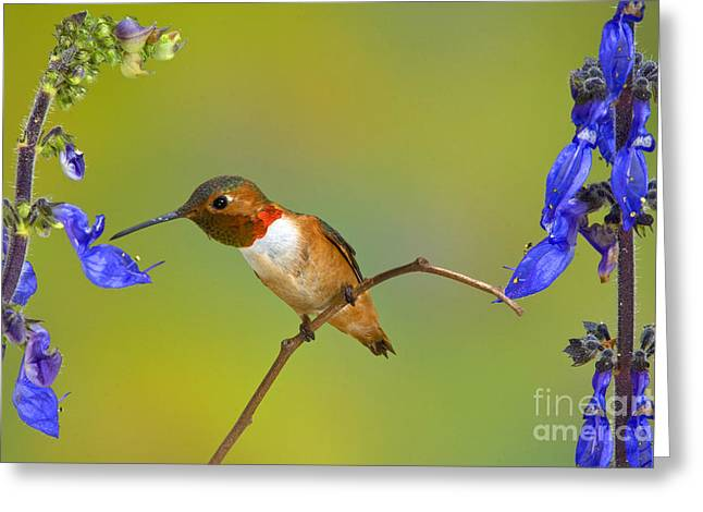 Allens Hummingbird Greeting Card by Anthony Mercieca