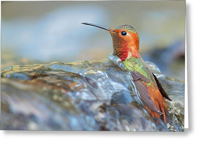 Allen's Hummingbird Taking A Bath On A Waterfall Greeting Card
