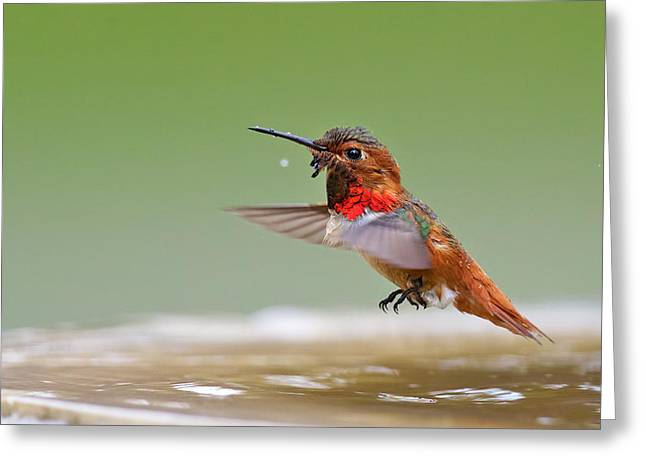 Allen's Hummingbird Greeting Card by Thy Bun