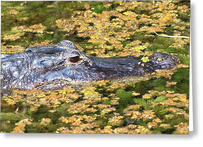 Alligator -31 Greeting Card by Rudy Umans
