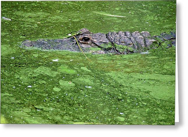 Alligator In Swamp Greeting Card