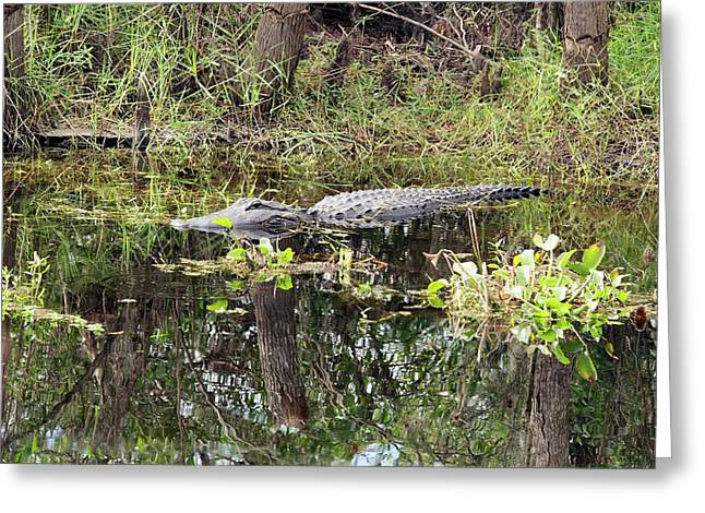Alligator In Swamp Greeting Card by Jim West