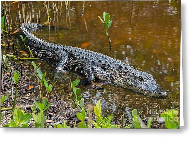 Alligator Lying In Wait Greeting Card by Anne Kitzman