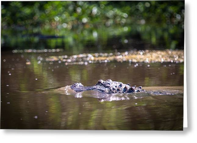 Alligator Swimming In Bayou 1 Greeting Card