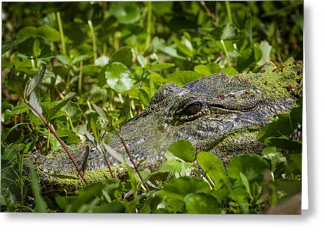 Greeting Card featuring the photograph Alligator Taken At Brazos Bend by Zoe Ferrie