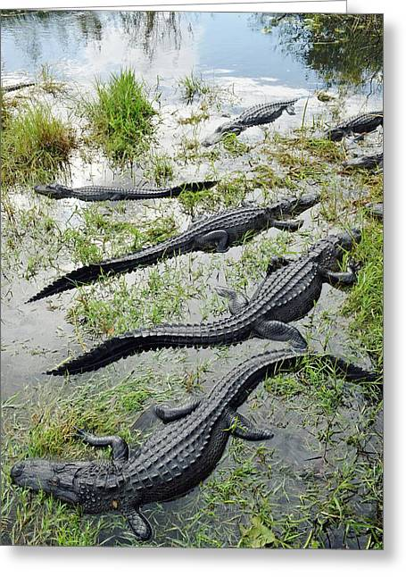 Alligators Greeting Card by Tony Craddock