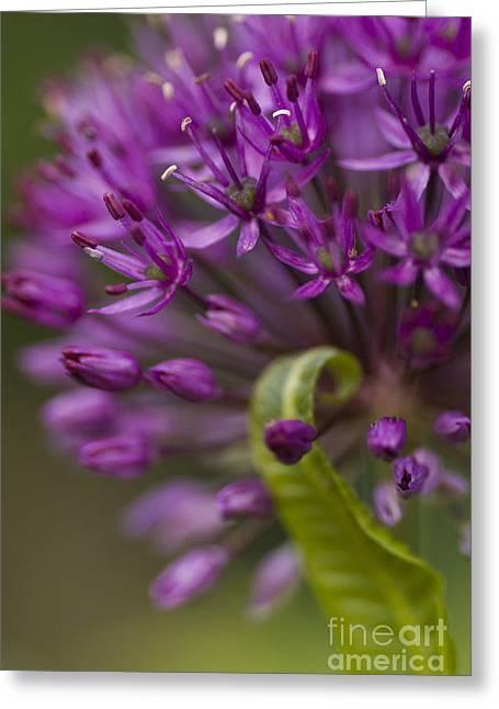 Allium Curl Greeting Card by Anne Gilbert