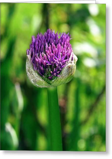 Allium Giganteum 'globemaster' Greeting Card