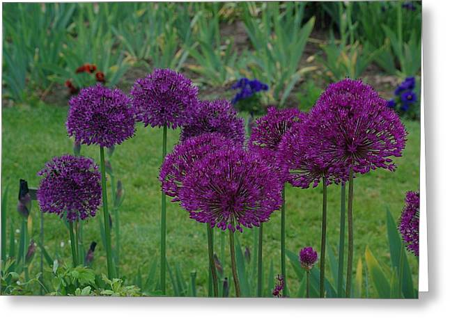 Allium Giganteum Greeting Card
