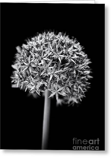 Allium Globemaster Greeting Card by Tim Gainey