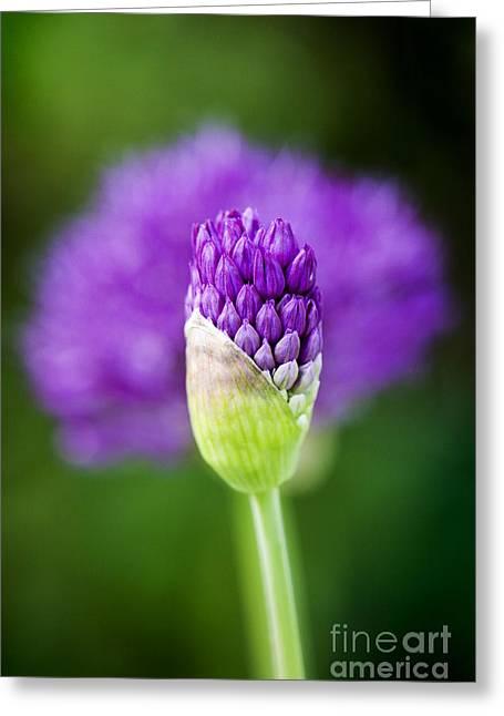 Allium Hollandicum Purple Sensation Greeting Card