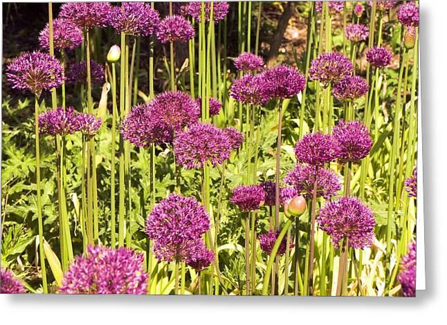 Allium Hollandicum Greeting Card