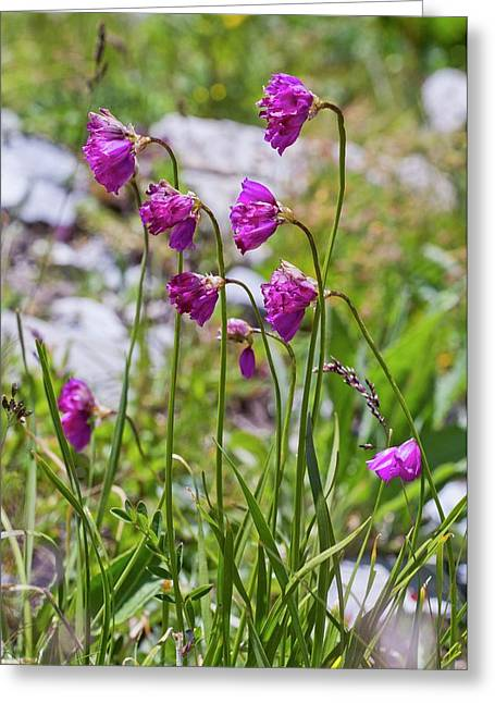 Allium Narcissiflorum In Flower Greeting Card