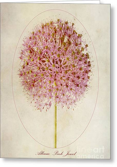 Allium Pink Jewel Greeting Card by John Edwards