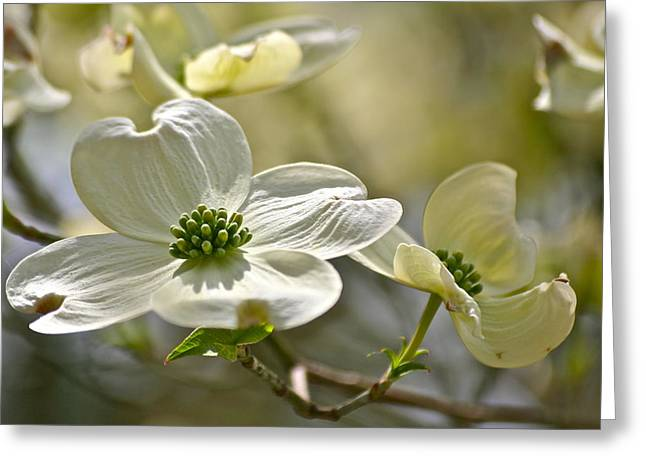 Alluring Dogwoods Greeting Card