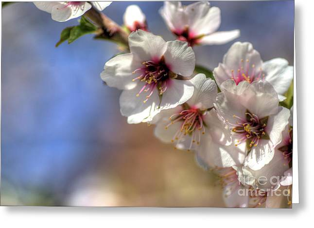 Greeting Card featuring the photograph Almond Blossoms by Jim and Emily Bush
