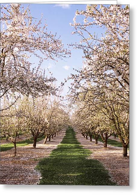 Almond Trees In An Orchard, Central Greeting Card
