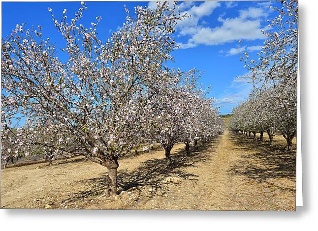 Almond Trees Greeting Card