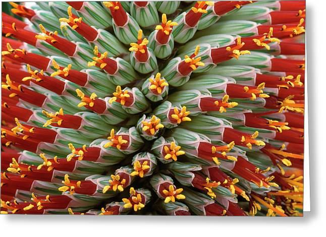Aloe Flower Greeting Card by Nigel Downer