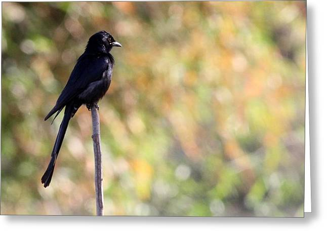 Alone - Black Drongo  Greeting Card by Ramabhadran Thirupattur