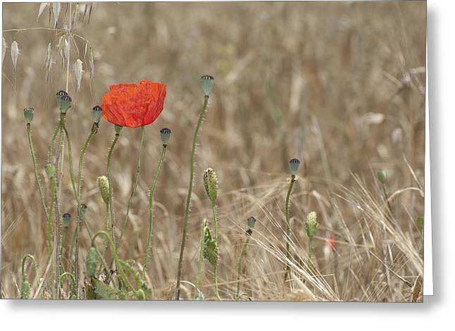 Alone Poppy Greeting Card by Guido Montanes Castillo