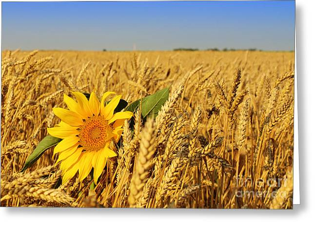 Alone Sunflower Sunflower In Wheat Greeting Card by Boon Mee