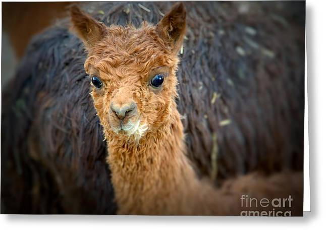 Alpaca Cria  Greeting Card