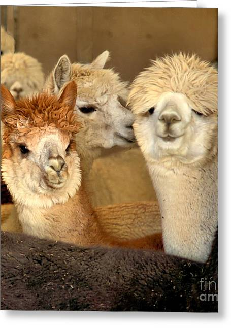 Alpaca Friends Greeting Card