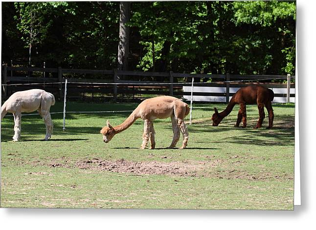 Alpaca - National Zoo - 01132 Greeting Card by DC Photographer