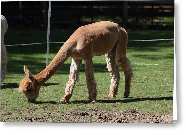 Alpaca - National Zoo - 01133 Greeting Card by DC Photographer