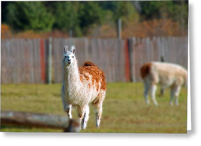 Alpaca Greeting Card by Rhonda Humphreys