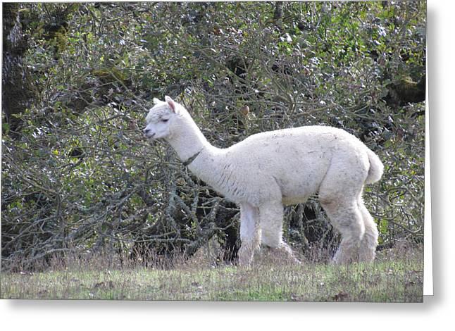 Alpaca Stroll Greeting Card