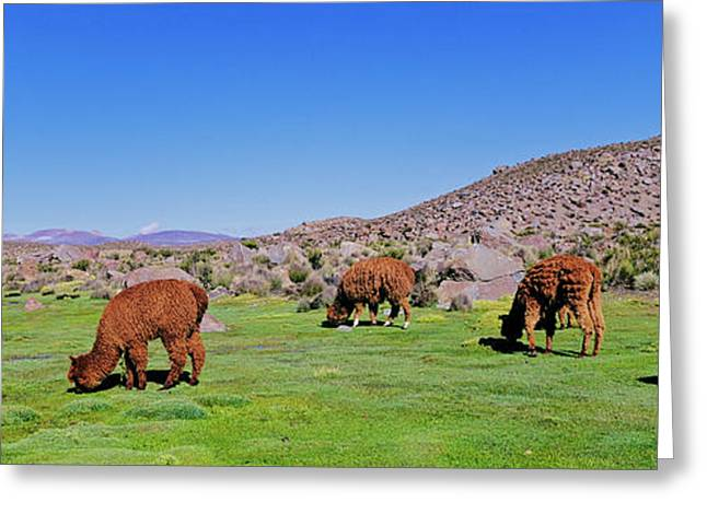 Alpaca (vicugna Pacos Greeting Card by Martin Zwick