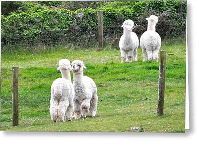 Alpacas In Ireland Greeting Card by Teresa Tilley
