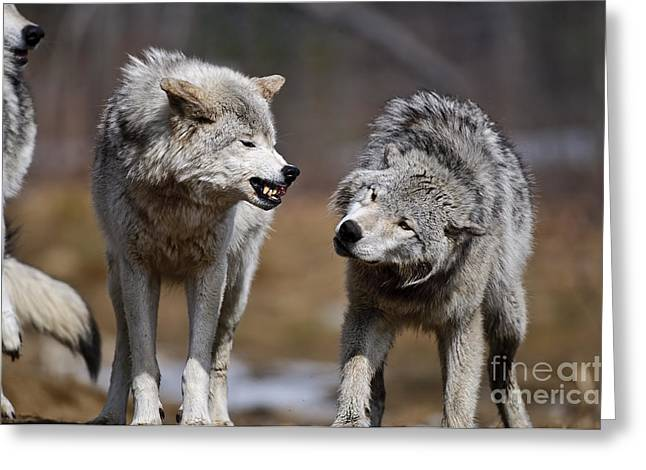 Greeting Card featuring the photograph Alpha Displeasure by Wolves Only