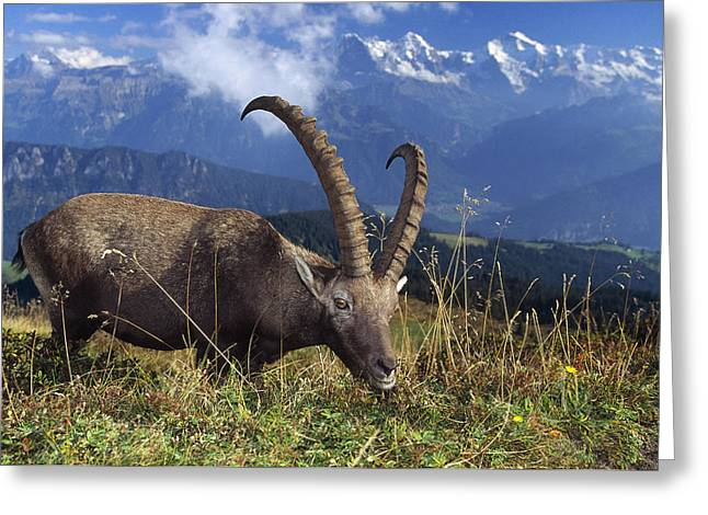 Alpin Ibex Male Grazing Greeting Card