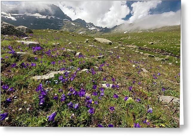 Alpine Bellflowers (campanula Tridentata) Greeting Card